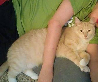 Domestic Shorthair Cat for adoption in Mt. Pleasant, Pennsylvania - Nod