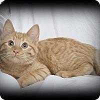 Adopt A Pet :: Yoda - Mt. Prospect, IL
