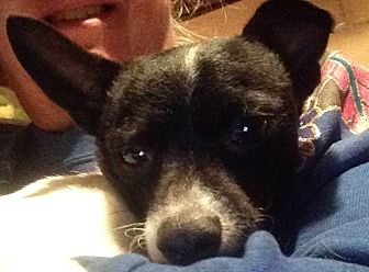 Rat Terrier Dog for adoption in Beeville, Texas - Checkers