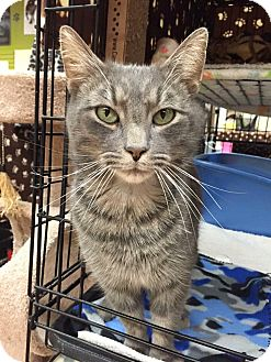 Domestic Shorthair Cat for adoption in Blasdell, New York - Boo