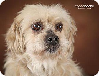 Lhasa Apso/Poodle (Miniature) Mix Dog for adoption in Inver Grove, Minnesota - Teddi