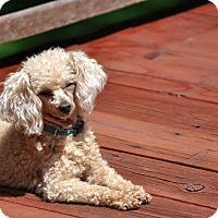 Adopt A Pet :: CARMEN - Elk River, MN