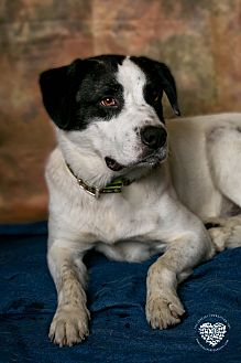 St. Bernard/Shepherd (Unknown Type) Mix Dog for adoption in Inglewood, California - Buddha