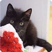 Domestic Mediumhair Kitten for adoption in Dallas, Texas - Harley