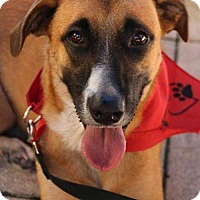 Anatolian Shepherd/Saluki Mix Dog for adoption in Tampa, Florida - Sheba
