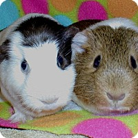 Guinea Pig for adoption in Steger, Illinois - Nisa