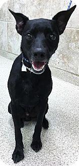 Labrador Retriever/Terrier (Unknown Type, Medium) Mix Dog for adoption in Plainfield, Illinois - Brett