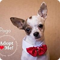 Adopt A Pet :: Pogo - Mesa, AZ
