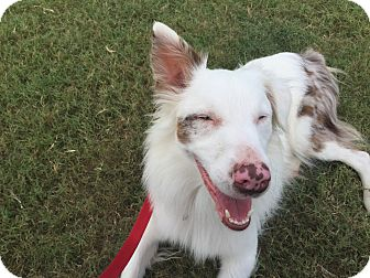 Australian Shepherd Mix Dog for adoption in Lockhart, Texas - Merle