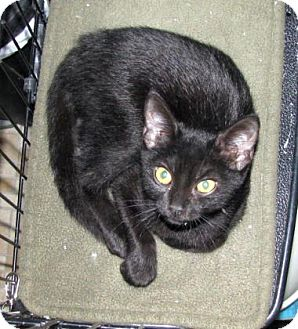 Domestic Shorthair Kitten for adoption in Las Cruces, New Mexico - Mars