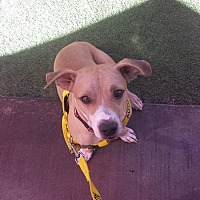 Labrador Retriever/American Staffordshire Terrier Mix Dog for adoption in Phoenix, Arizona - Mac