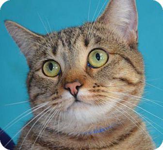 Domestic Shorthair Cat for adoption in Visalia, California - Wren