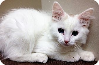 Domestic Shorthair Kitten for adoption in Shorewood, Illinois - moved to Downers Grove Duchess