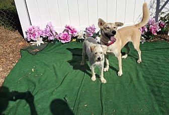 Labrador Retriever/German Shepherd Dog Mix Dog for adoption in Baton Rouge, Louisiana - Sandy