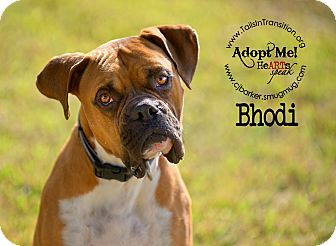 Boxer Dog for adoption in Friendswood, Texas - Bhodi