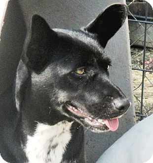 Australian Cattle Dog/Corgi Mix Dog for adoption in Godley, Texas - Macey