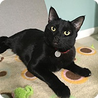 Domestic Shorthair Cat for adoption in Studio City, California - JC zen cat