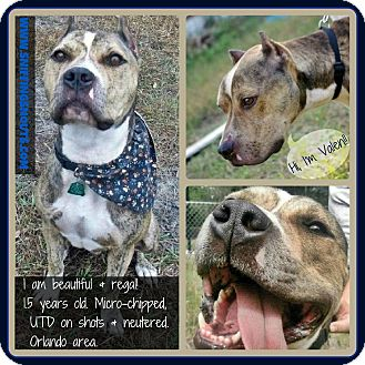 American Pit Bull Terrier Mix Dog for adoption in Orlando, Florida - Valen