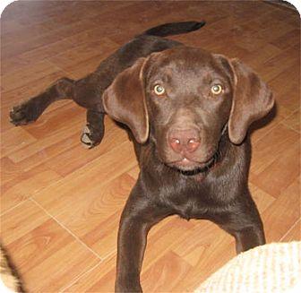 Labrador Retriever/Retriever (Unknown Type) Mix Puppy for adoption in Golden Valley, Arizona - Rubie