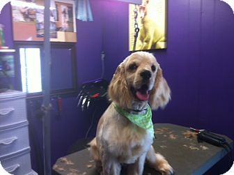 Cocker Spaniel Mix Dog for adoption in Surrey, British Columbia - Brodie-Deaf-Pending