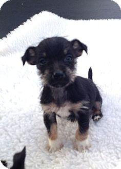 Melanie Adopted Puppy Weatherford Tx Rat Terrier