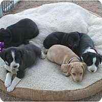 Adopt A Pet :: Missy's puppies - Scottsdale, AZ