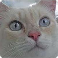 Adopt A Pet :: Sheina - Arlington, VA