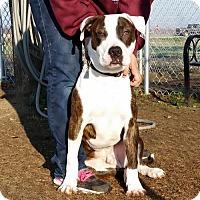 Adopt A Pet :: Gambit - Lemoore, CA