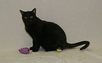 Domestic Mediumhair Cat for adoption in Hawk Point, Missouri - Cherry
