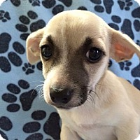 Adopt A Pet :: Dunkin - Fort Lauderdale, FL