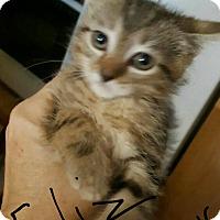 Adopt A Pet :: Feliz - Hainesville, IL