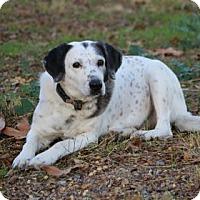 Dalmatian Mix Dog for adoption in Yucaipa, California - Malki