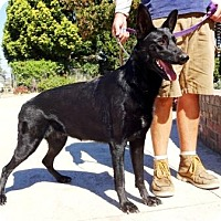German Shepherd Dog/Dutch Shepherd Mix Dog for adoption in Lathrop, California - Stormy