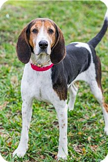 Hound (Unknown Type) Dog for adoption in Miami, Florida - Sugar
