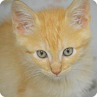 Adopt A Pet :: Velveeta - San Leon, TX