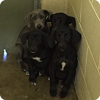 Adopt A Pet :: Maximillion - Stamford, CT