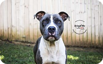Pit Bull Terrier Mix Dog for adoption in Mooresville, North Carolina - Zara