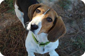 Basset Hound/Beagle Mix Dog for adoption in Pennsville, New Jersey - PORTER