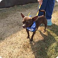 Chihuahua Mix Dog for adoption in Poughkeepsie, New York - Brando
