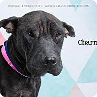 Adopt A Pet :: Charming - Denver, CO
