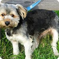 Adopt A Pet :: Scout - Vacaville, CA