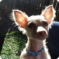 Adopt A Pet :: Mr. Big - San Jose, CA