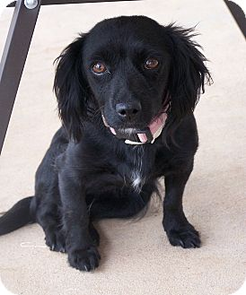 Dachshund/Chihuahua Mix Dog for adoption in San Angelo, Texas - Mulan