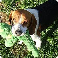 Adopt A Pet :: Hamilton - Novi, MI