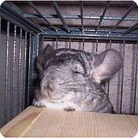 Adopt A Pet :: Chi Chi - Avondale, LA