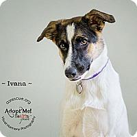 Adopt A Pet :: Ivana - Phoenix, AZ