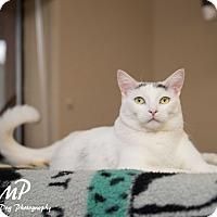 Adopt A Pet :: Jackson/declawed - Fountain Hills, AZ