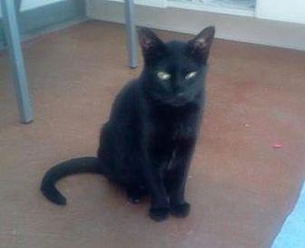 Domestic Shorthair Cat for adoption in Denver, Colorado - Peter