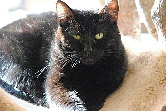 Domestic Shorthair Cat for adoption in Atlanta, Georgia - Emerald 11353