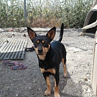 Miniature Pinscher Mix Dog for adoption in San Pablo, California - ALLIES SISTER
